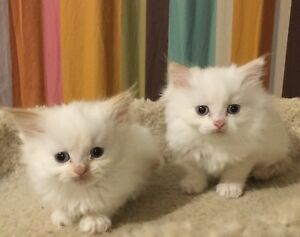 Two 7 weeks old pure breed Himalayan kittens