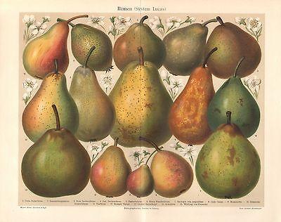 BIRNEN  Obst Muskateller Eierbirne Pastorenbirne Lithographie um 1900
