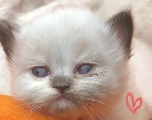 ONLY 3 left!! FEMALE Himalayan kittens