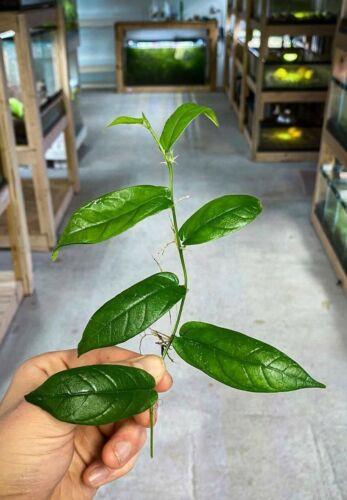 Ficus radicans - Dart Frog VIVARIUM / Terrarium Plant - Stem Cutting