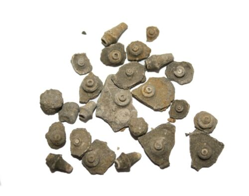Carboniferous Mississippian Echinoid fossil plate collection Echinocidaris Utah
