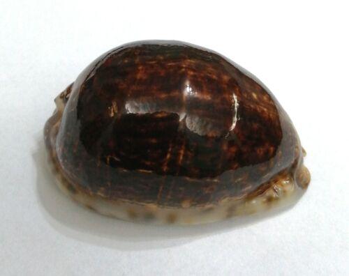 Shell CYPRAEA ARABICA N.Caledonia 68,3 mm NIGER & ROSTRATE # XL SIZE