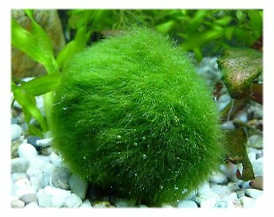 Marimo Moss Ball Large Size 3~4cm Great for Tank Fish or Vase. USA seller](Moss Ball)