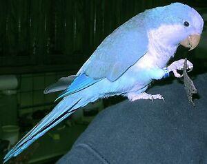 Quaker parrot Highett Bayside Area Preview