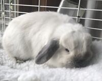 Sweetest Holland Lop bunny