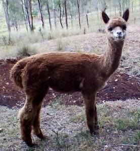 Alpacas - Rose Grey Male (7 months) + Fawn Female (apx 1 yr old) Beaudesert Ipswich South Preview
