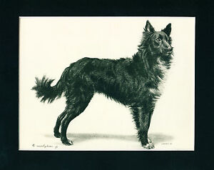 SCARCE ANTIQUE Dog Print 1904 Belgian Shepherd Groenendael DUC