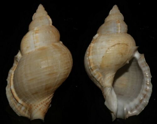 Seashells Bursa awaitii 76mm Large F+++/GEM Supeb Size Very nice Marine Specimen