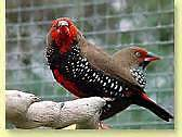 Finches, Sparrows, Doves and Quals from $15.00 Valley View Salisbury Area Preview
