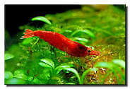 Cherry Shrimp , for sale