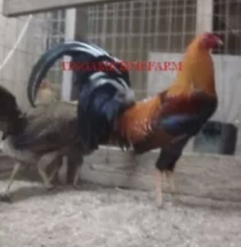 7 Pure Sweater poultry Gamefowl Chicken hatching eggs .