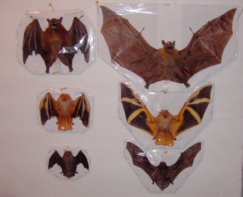 Bat Taxidermy 3  Deluxe Species 6 Lot displayed in Spread and Folded Position