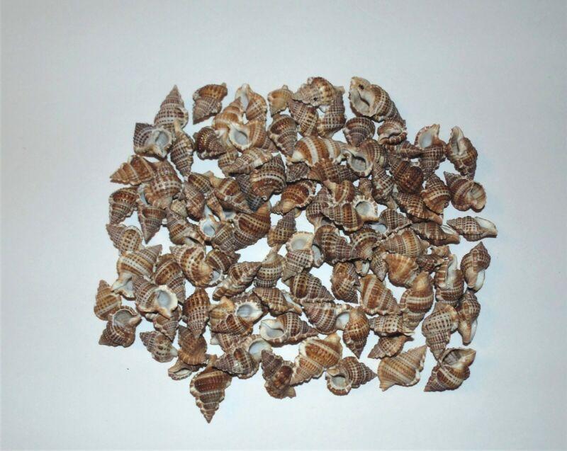 1/2  POUND  BURSA GRANULARIS  SEA SHELLS - BEACH  DECOR GREAT FOR CRAFTS