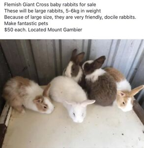 Flemish Giant Cross baby rabbits