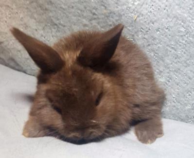 Mini Lopped Dwarf baby bunny