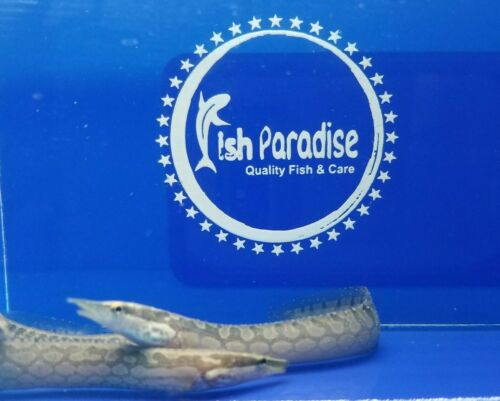 "4"" Tire Track Zig Zag EELS (Mastacembelus armatus) Live Tropical Fish Healthy."
