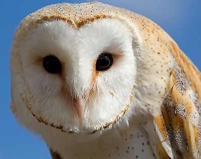 Owl / Bird 8 x 10 GLOSSY Photo Picture IMAGE #9