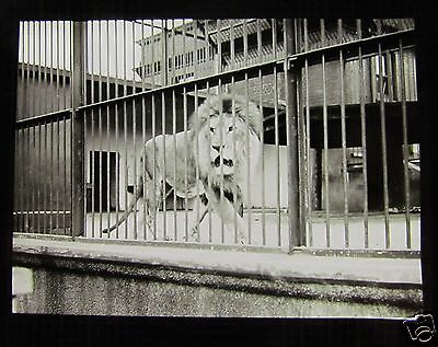 Glass Magic lantern Slide WHIPSNADE ZOO THE LION 1930'S BEDFORDSHIRE