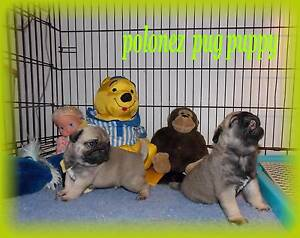 PUG  PUPPY Hobart CBD Hobart City Preview