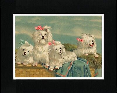 MALTESE 4 DOGS IN A BASKET LOVELY IMAGE VINTAGE STYLE DOG ART PRINT READY MATTED