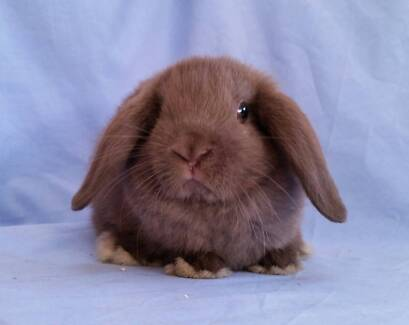 Vaccinated Mini Lop Rabbit Babies - Purebred & Cute