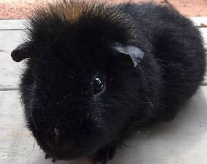 Male Guinea Pigs x 2 plus Hutch West Ryde Ryde Area Preview