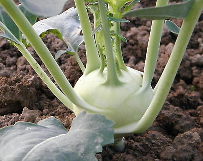100 Samen Kohlrabi Superschmelz weicher Riesenkohlrabi Rübkohl Kohlrabisamen