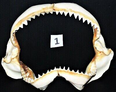 """9"""" WIDE DUSKY SHARKS JAW, SEA SHELL NAUTICAL BEACH DECOR TROPICAL"""
