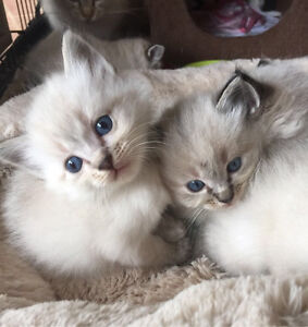 -SOLD- Pure bred Ragdoll kittens for sale Hillside Melton Area Preview