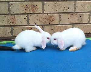 lop rabbits Truganina Melton Area Preview