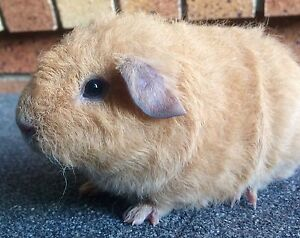 2 pure Bred Rex Pigs Strathpine Pine Rivers Area Preview