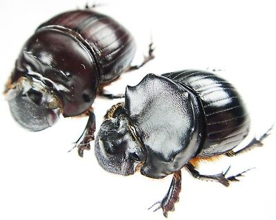 Giant Pair 27mm ....!! Insect Hypselogenia corrosa Tanzania