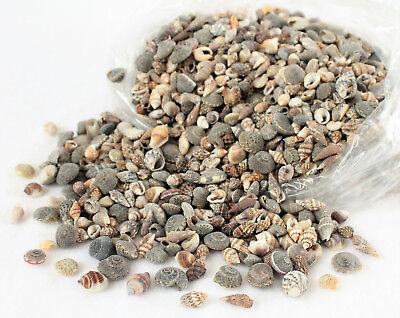 Muscheln Kiloware 1cm Muschelmix 1000 Gramm Streudeko