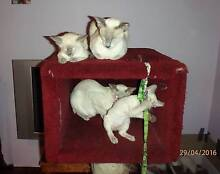 4 Blue point Kittens for sale Duncraig Joondalup Area Preview