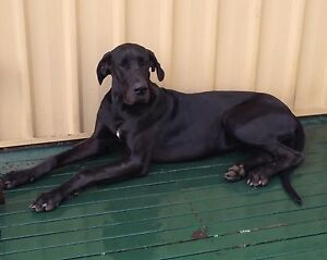 URGENT show quality black female great dane Bargo Wollondilly Area Preview