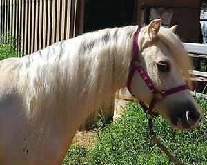 Child's Welsh Mountain Show Pony Filly Greenbank Logan Area Preview