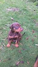 Dobermann Puppies - pure breed -POA+ Ulverstone Central Coast Preview