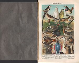 Chromo-Lithografie 1906: Hochzeitskleider I/II. Tiere Vögel Fisch Echse Molch