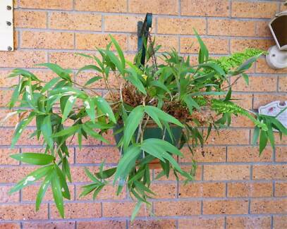 FERNS + OTHER TREES IN POTS/HANGING POTS - MOVING SALE (CHEAP!)