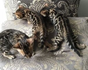 🐆🐆🐆 Pedigree Bengal Kittens available 🐆🐆🐆.    ❤️