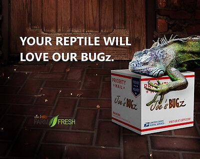 500 Cupped Medium Dubia Roaches FREE Shipping - Joe's BUGz