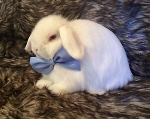 Beautiful Holland Lop Bunny