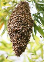 Bee swarm removal free Allens Rivulet Kingborough Area Preview