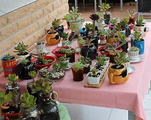 70 Cacti & Succulent Plants - Buy 1 or All Padstow Bankstown Area Preview