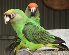 Jardines Parrot Dubbo 2830 Dubbo Area Preview