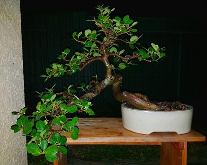 Large Green Island fig bonsai 15 years old