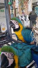 Blue & Gold Macaw baby girl...she is beautiful Young Young Area Preview
