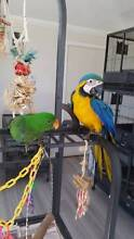 Blue & Gold Macaw babies...After the ultimate bird to own? Sydney City Inner Sydney Preview