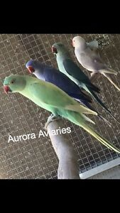 Emerald Dominant Pied Indian Ringneck Parrot Park Ridge Logan Area Preview