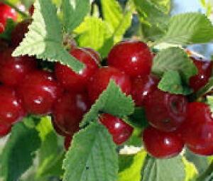 Nanking Dwarf Cherry red fruit tree shrub bush edible berry HARDY LIVE PLANT